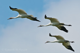 Photo: Whooping cranes