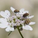 insetos coleópteros