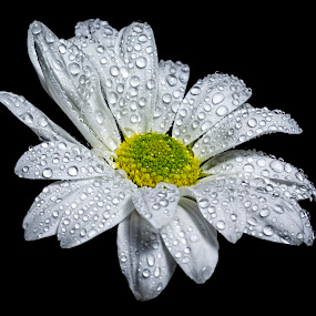 Daisy by Roger Fanner - Nature Up Close Flowers - 2011-2013 ( black background, water, flash, roger fanner, white, daisy, flower )