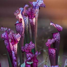 Pitcher Plants by Sally Shoemaker - Flowers Flower Gardens