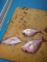Photo: 〇〇さんも真鯛! しかもトリプル!