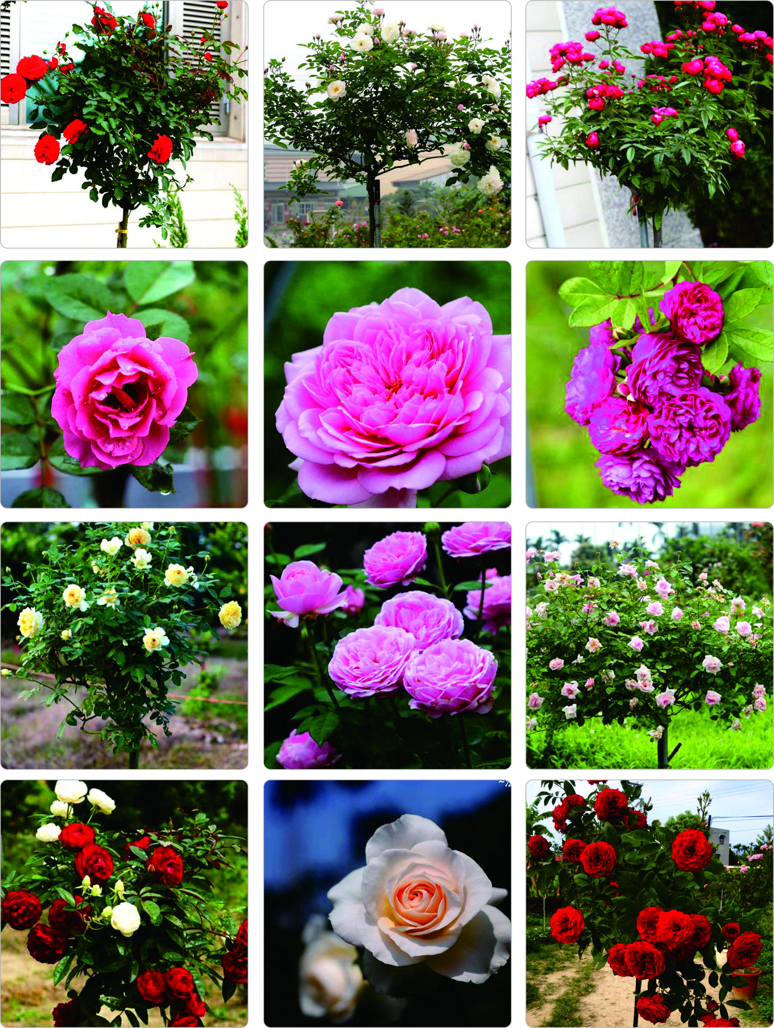 課程師資:綠加麗樹玫瑰園/園主 林章立