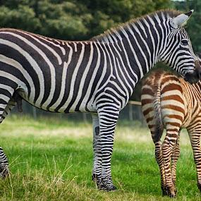 Stripes by Sarah Tregear - Animals Other ( animals, zebra, stripes, longleat, zebras,  )