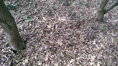 Photo: There is a couple of inches of leaf litter on the floor under the oaks.