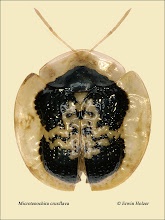 Photo: Microtenochira cruxflava, 6,2mm, Costa Rica, Esquinas Rainforest (08°42´/-83°12´), leg. Erwin Holzer, det. Lech Borowiec