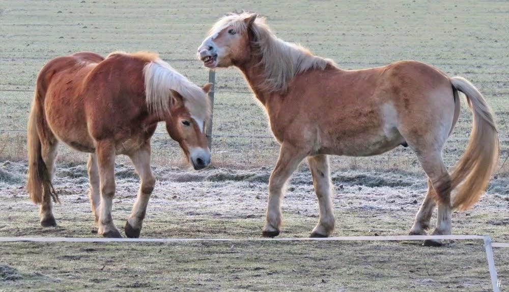 2019-02-26 LüchowSss morgens -Haflinger Pferde (6)