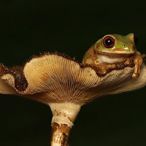 Frog on a Mushroom by David Knox-Whitehead - Animals Amphibians ( green, frogs, amphibians, eyes, mushrooms )