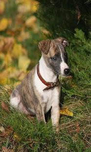 Greyhound - náhled