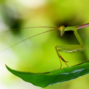 Take me to ur leader... by René Wright - Nature Up Close Gardens & Produce ( green, nature, praymantis, insect, garden, eyes,  )