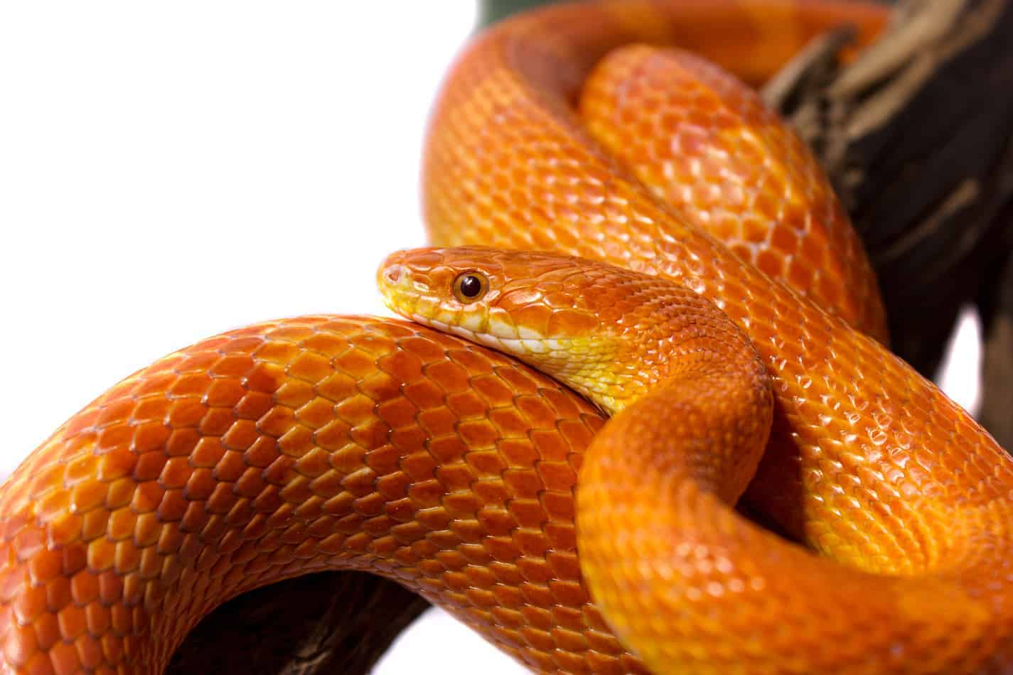 Cutest Pet Snake Breeds With Pictures Automobilių Nuoma Jums