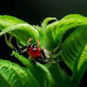 Flat-abdomen Crab Spider