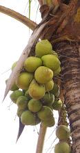 Photo: ALQUIMIA Alambica la palmera los zumos de la tierra y los del aire y abrazada con el sol, al canto del Diostedé, el milagro de los cocos. Gabriel Ruiz A.