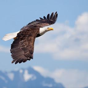 Bald Eagle by Alex Sam - Animals Birds ( bird, prey bird, eagle, bald eagle, in flight )