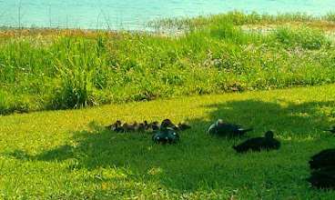 Photo: look at all the ducklings