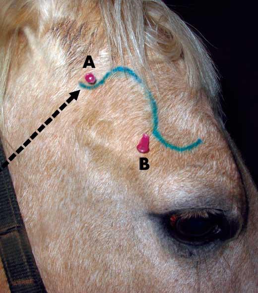 An auriculopalpebral nerve block facilitates the corneal scraping