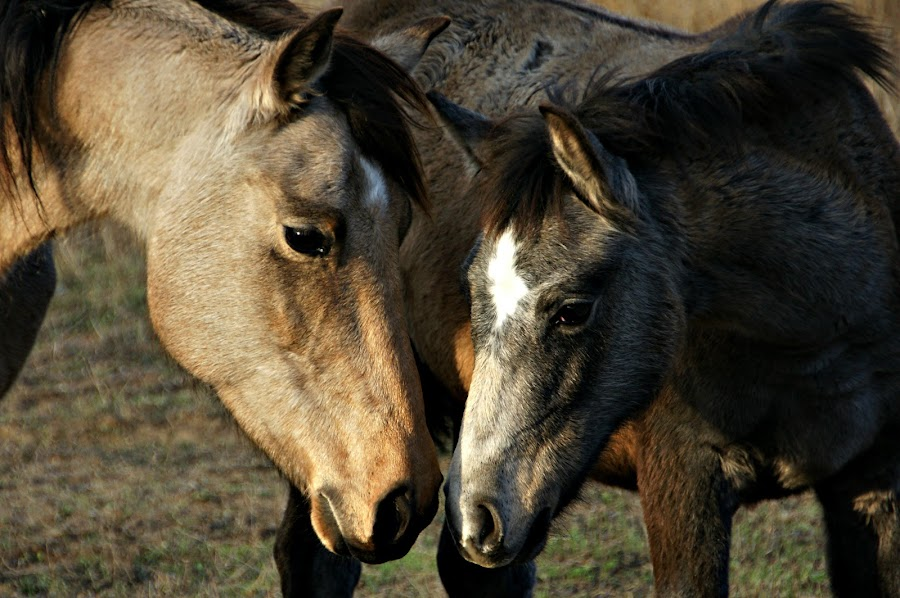 Mother Daughter by Gaylord Mink - Animals Horses ( mother, heads, horse, eyes,  )