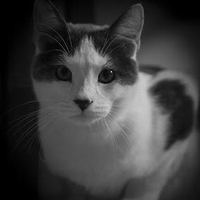 annoyed by Matthew Westfall - Animals - Cats Portraits