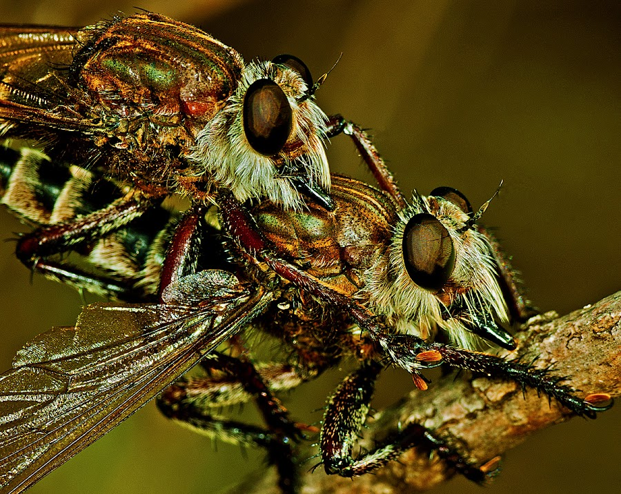 Mating robber flies by David Winchester - Animals Insects & Spiders (  )