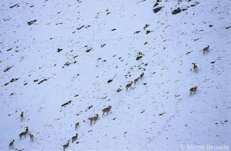 Photo: un troupeau d'ibex à la recherche de nourriture