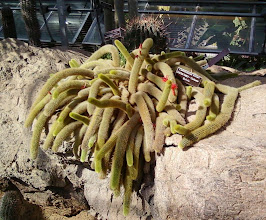Photo: Another funny-looking cactus.