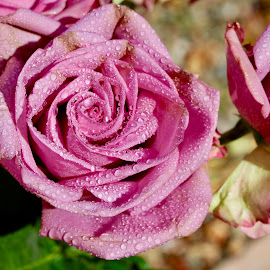 A special rose only for you ... by Rose Smith - Flowers Flower Gardens ( a, only, for, rose, speial, you,  )