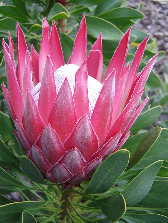 King Protea has the largest flowers produced from spring to summer.