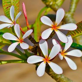 Hawaiian Plumeria-Maui by Doug Wean - Flowers Flowers in the Wild ( plumeria, nature, hawaii, tree, nature up close, flower up close, buds, nature close up, flower nature, flower,  )