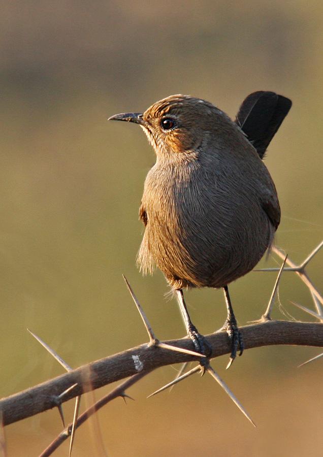 Indian Robin by Abdul Rehman - Animals Birds ( indian robin bird, pakistan punjab,  )