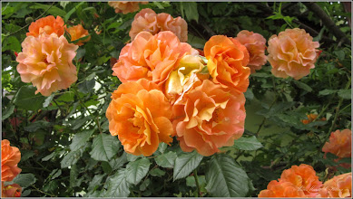 Photo: Trandafir (Rosa)  - din Turda, Str. Barbu Lautaru - 2019.06.03