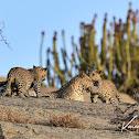 Leopard - (local name in India-Tendua/Bagh)