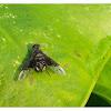 Anthrax sp. 卵蜂虻