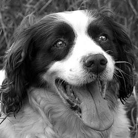 B&W Chip by Chrissie Barrow - Black & White Animals ( monochrome, tongue, black and white, pet, fur, ears, dog, nose, mono, portrait, eyes, animal )