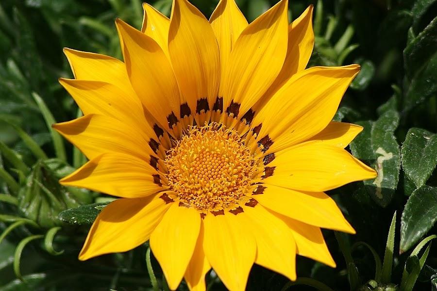 One among buds by Giovanna Pagliai - Flowers Single Flower ( peculiar, plant, heart, daisy, yellow, garden )