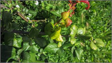Photo: Gutui Japonez (Chaenomeles japonica), ma incanta nu doar prin flori ci si prin coloritul divers al frunzelor - din Turda,  de pe str. Andrei Muresanu, spatiu verde - 2018.06.25
