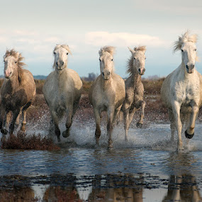 5 White Horses by Adrian Lines - Animals Horses