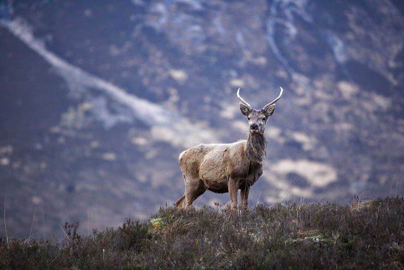 A red deer stage spotted in the hills of Glencoe, Scotland.