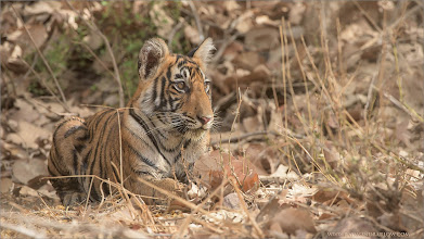 Photo: Tiger Cub in India Raymond's Tiger Photography Tours in India  Help the world protect the Tigers Please!  ray@raymondbarlow.com Nikon D810 ,Nikkor 200-400mm f/4G ED-IF AF-S VR 1/400s f/7.1 at 360.0mm iso800     #phototour   #naturephotos #animal #animalphotography  #wildlife #raymond #nature #wildlife #google #googlephotos  #naturephotography #wildlifephotography  #travelphotography  #wildography   #travel #phototour #nature #naturephotography