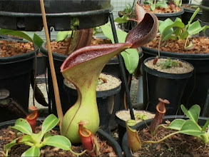 Photo: Nepenthes lowii. Video image: S. Hartmeyer