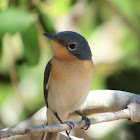 Broad-billed Flycatcher