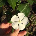 White Periwinkle (Pervenche)