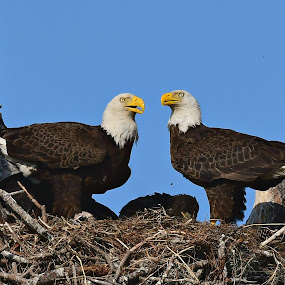Eagles by Ruth Overmyer - Animals Birds (  )