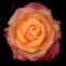 0 Rose 9865~Q.jpg