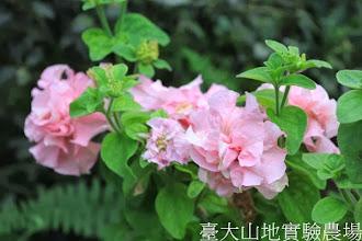 Photo: 拍攝地點: 梅峰-溫帶花卉區 拍攝植物: 重辦矮牽牛 拍攝日期:2013_09_28_FY