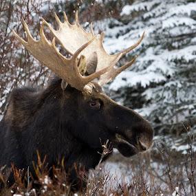 Bull Moose - Xmas Eve 2012. by Chris Greenwood - Animals Other Mammals ( canada, snow, moose, bull, animal )