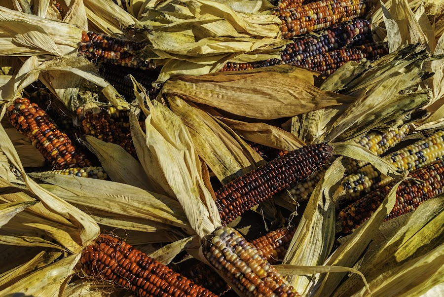 Maize by Tim Padget - Food & Drink Fruits & Vegetables ( farm, food, fall, crops, produce )