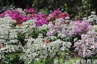 Photo: 拍攝地點: 梅峰-溫帶花卉區 拍攝植物:報春花 拍攝日期:2013_02_15_FY