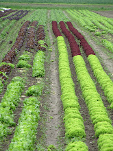Photo: Day 34 - Rows of Lettuces