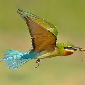 BEE EATERS by Subramanniyan Mani - Animals Birds