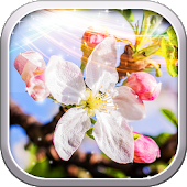Spring Cherry Flower Wallpaper