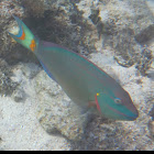 Stoplight Parrotfish